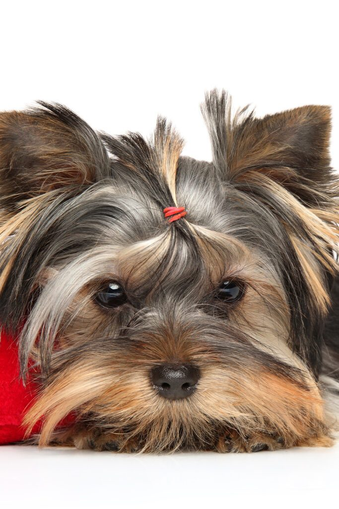 Yorkshire Terrier Style
