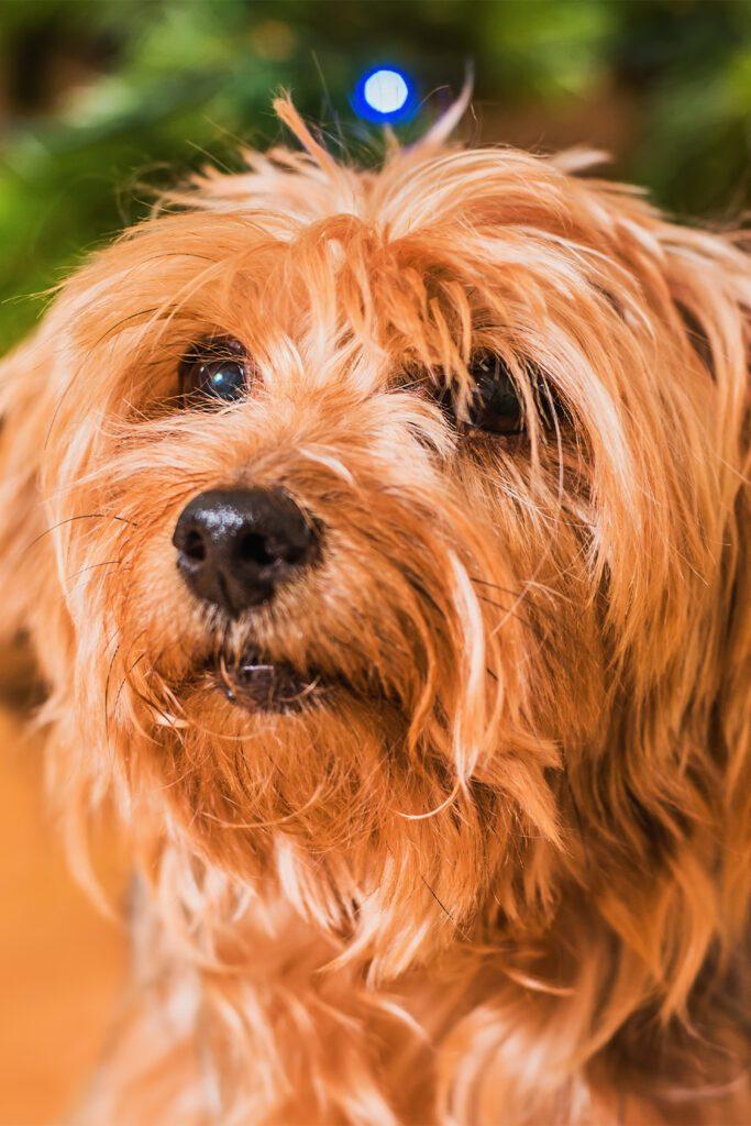 Yorkshire Terrier Ungroomed