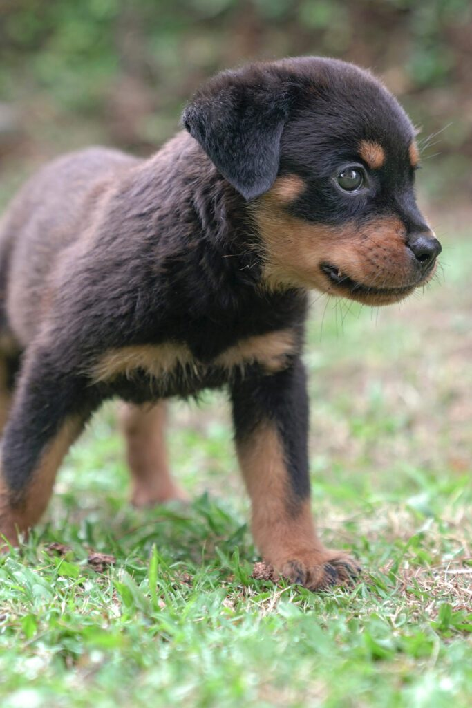 Young Rottweiler Pup