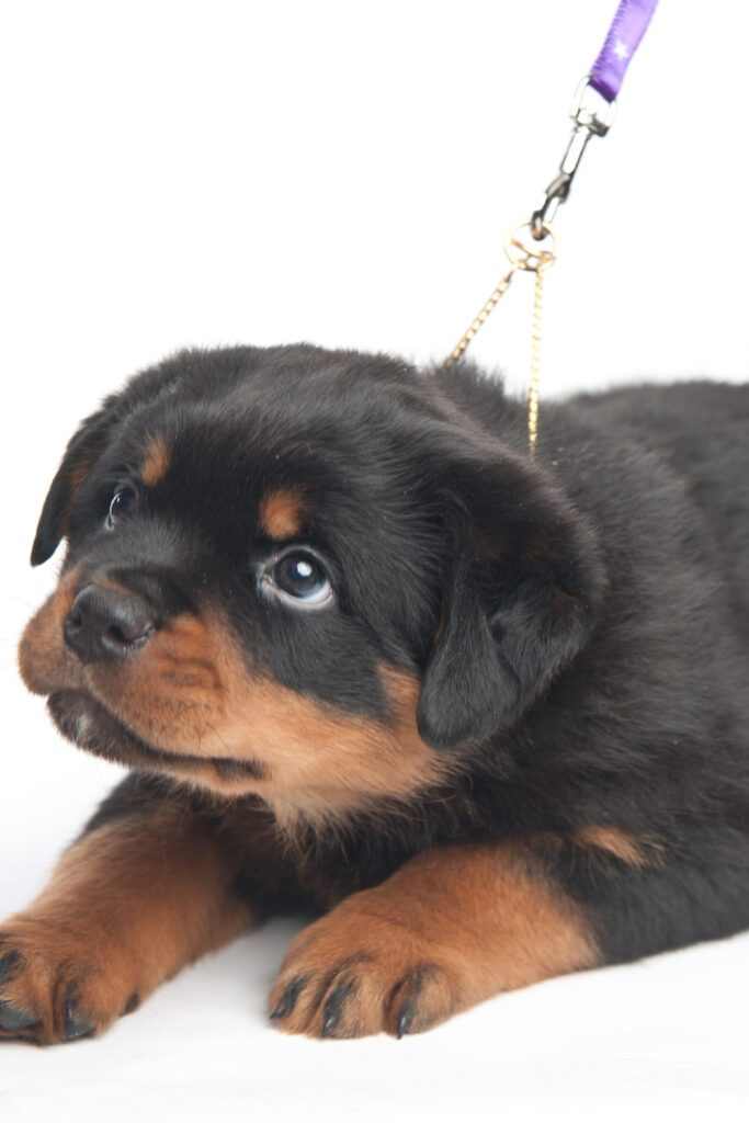 Young Rottweiler Puppy