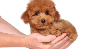25 Poodle Puppies