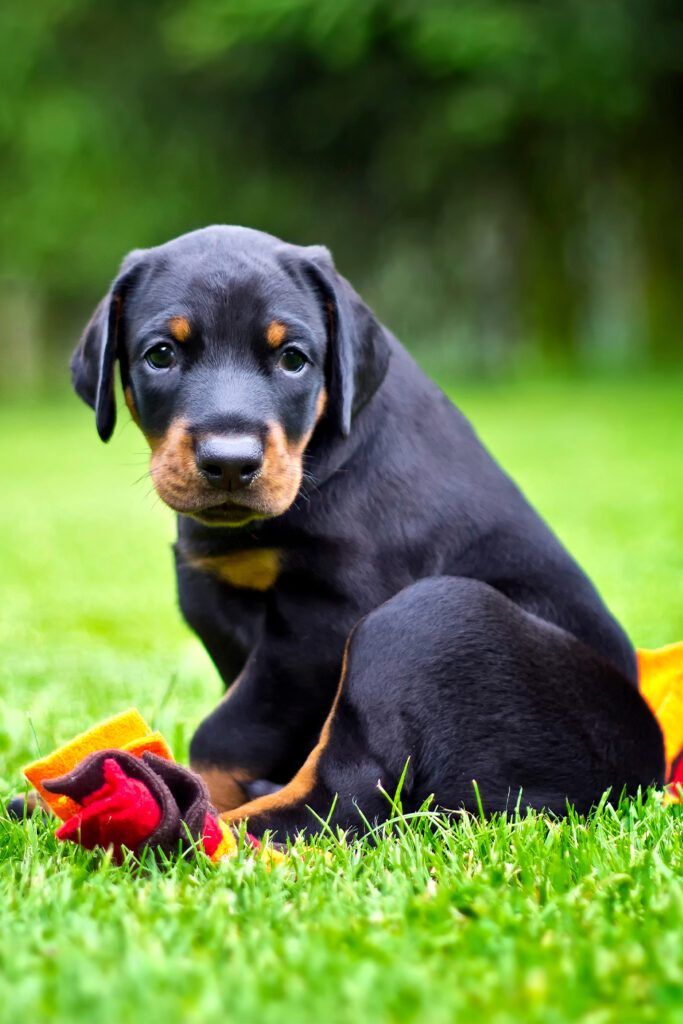 Adorable Domerman Pinscher Puppy