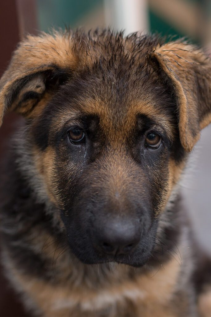 Adorable German Shepherd