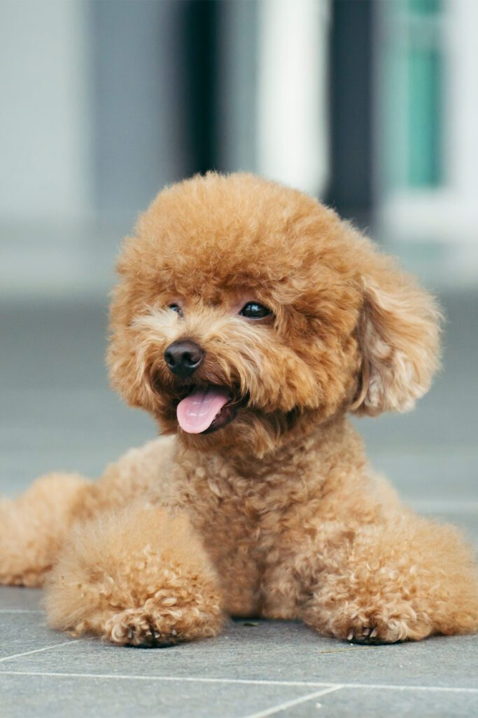 Apricot Poodle Puppy Grooming