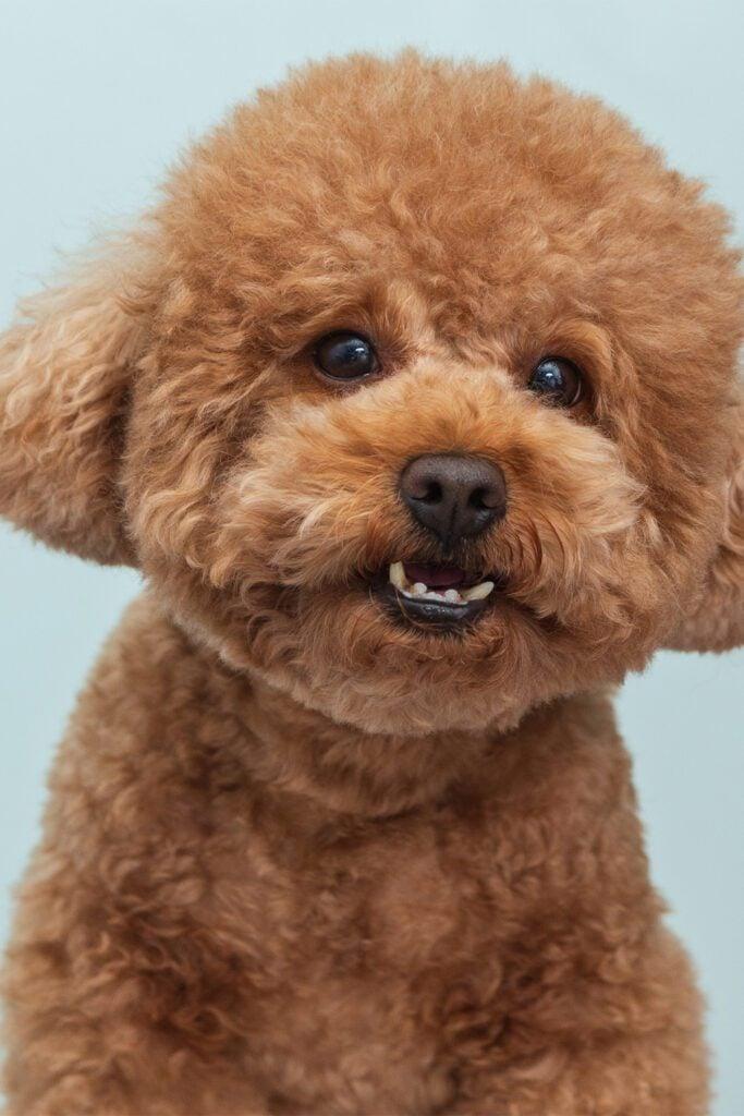 Apricot Poodle Puppy Haircut