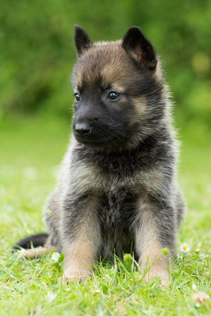 Baby German Shepherds Puppies