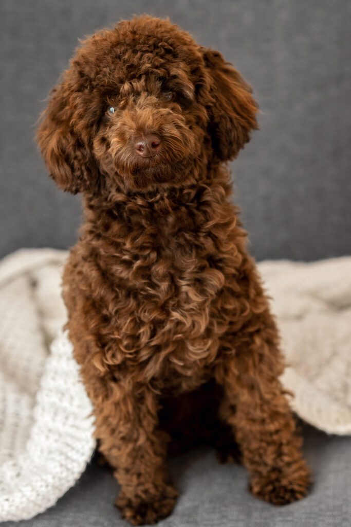 Beautiful Brown Poodle Puppy