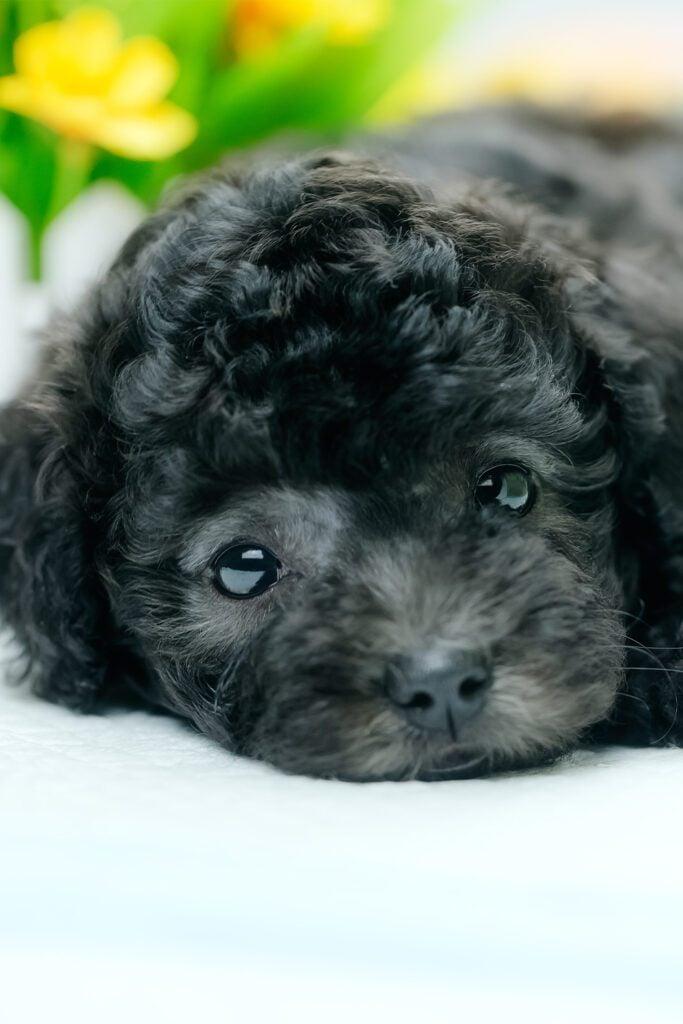 Black Baby poodle