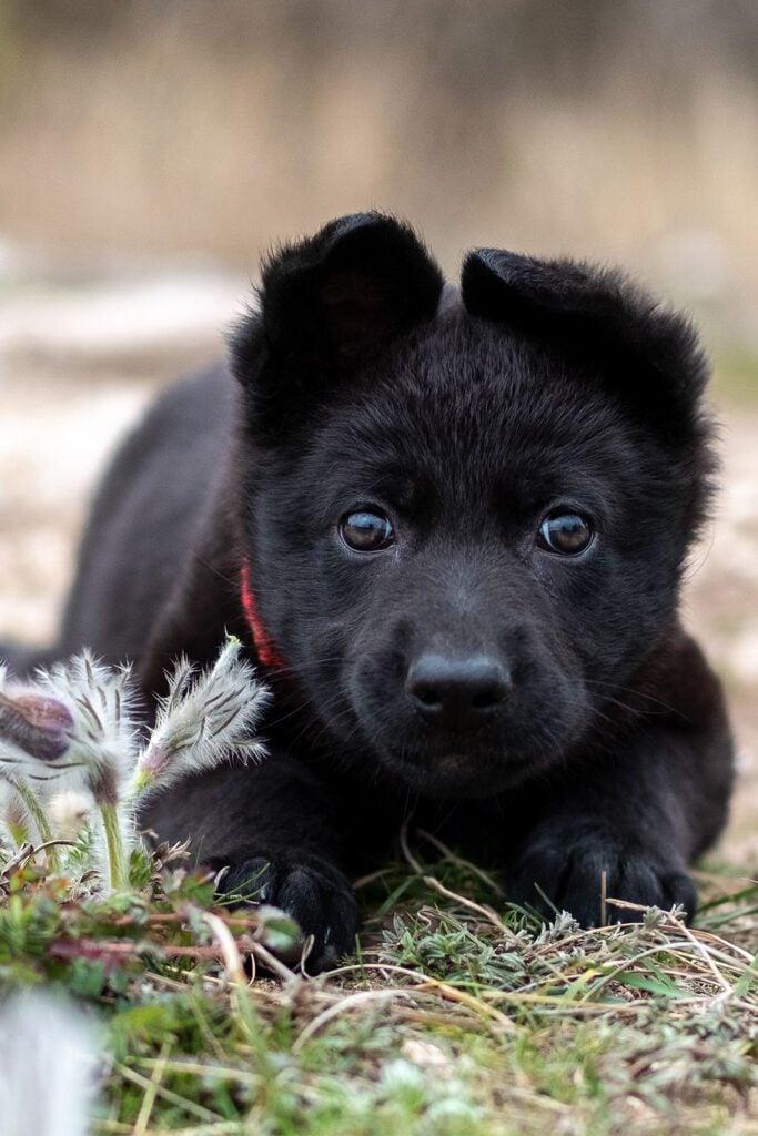 Black German Shepherd Puppy 1