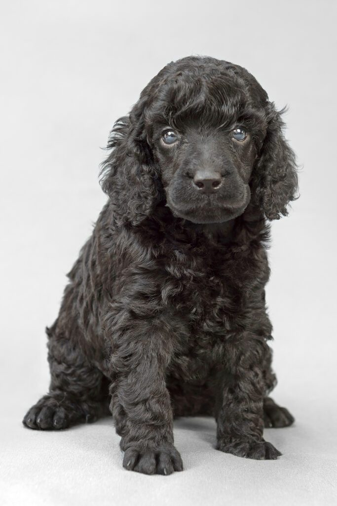 Black Mini Poodle Puppy