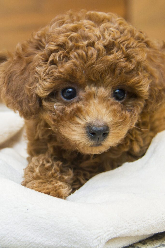 Cute Brown Poodle Puppy