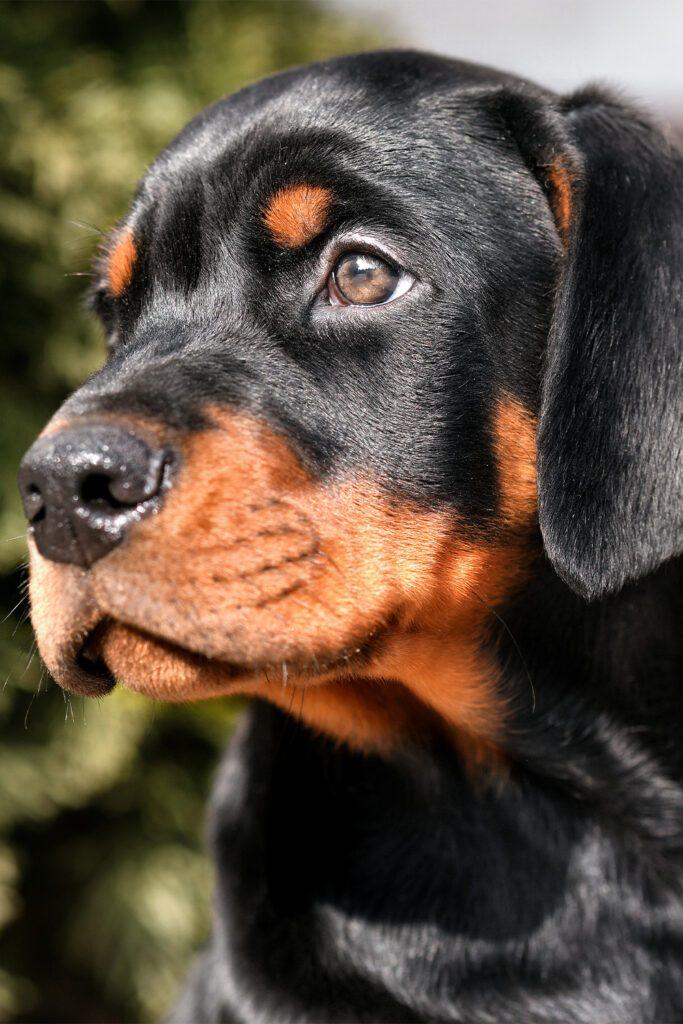 Cute Doberman