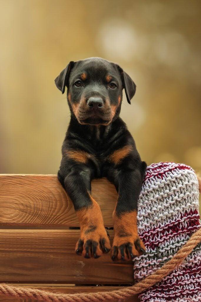 Cute Doberman Pinscher Puppy