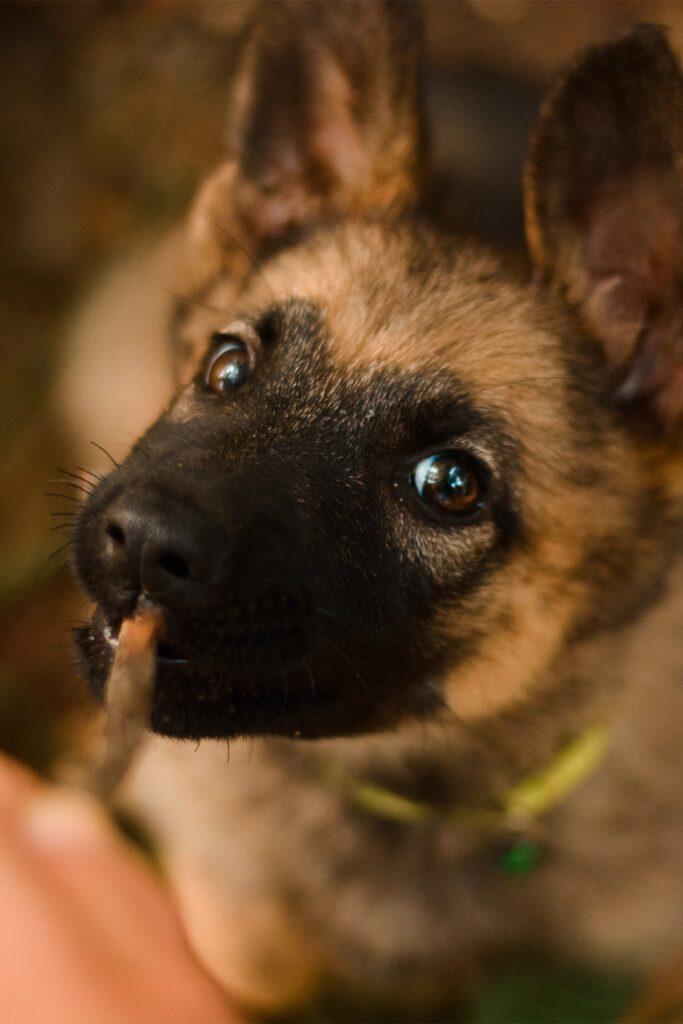 Cute German Shepherd Pup