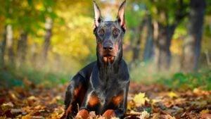 Doberman Pinschcer Dogs