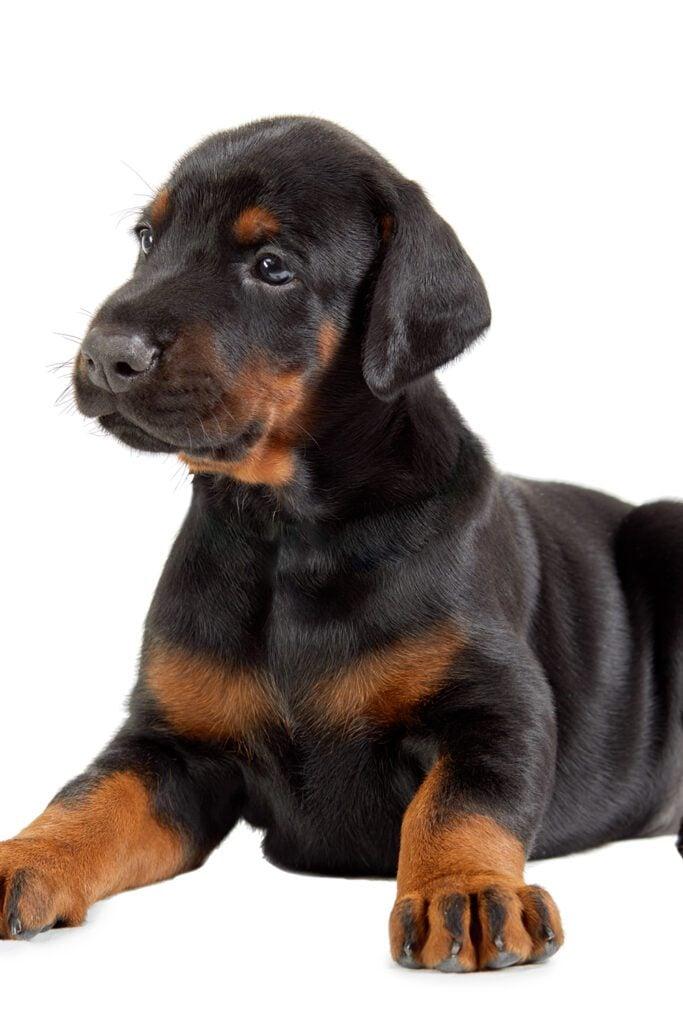 Doberman Puppy Big Paws