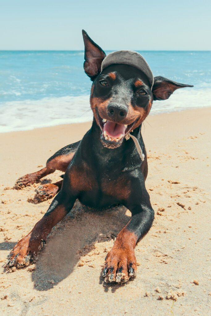Funny Doberman at the Beach