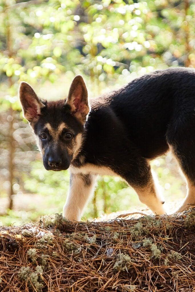 German Shepherd Puppy Exploring