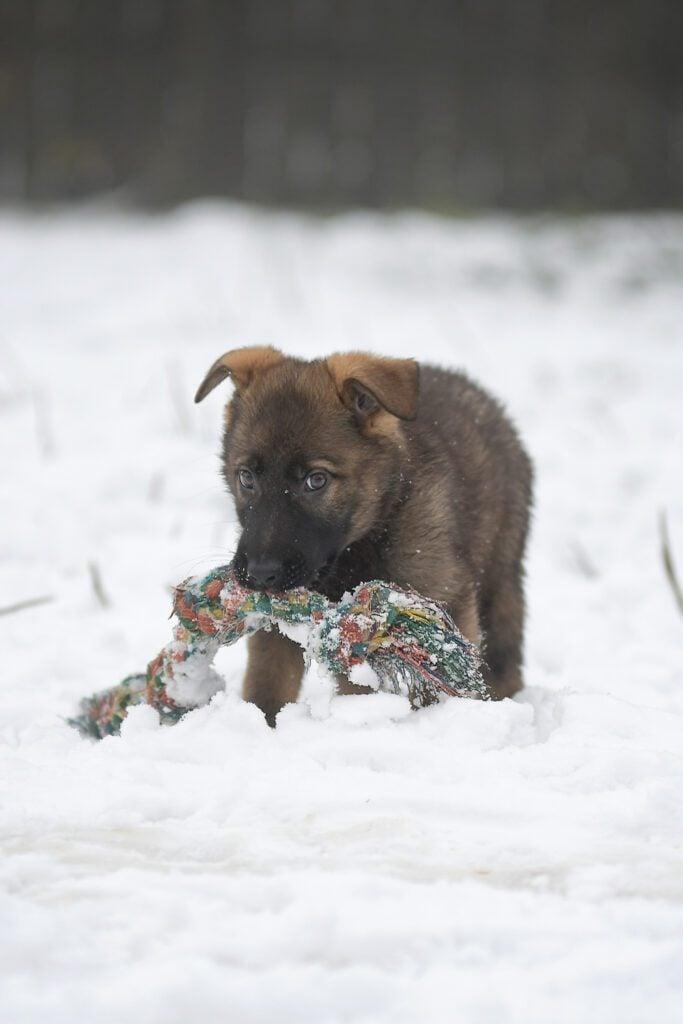 German Shepherd Puppy In The Snow