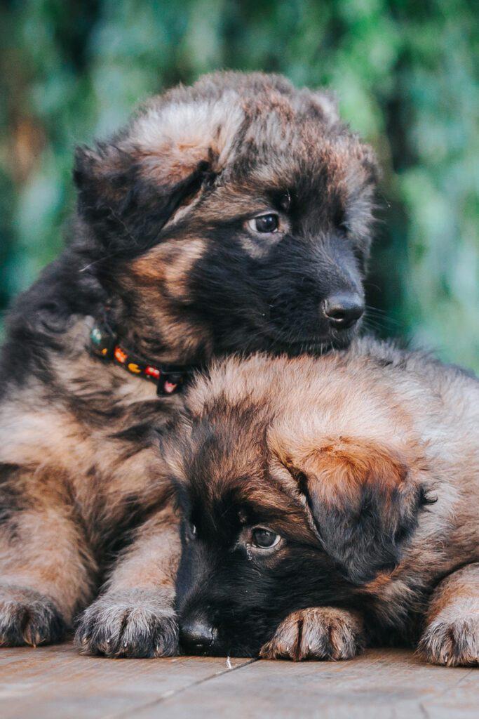 Long Coat German Shepherd Puppy