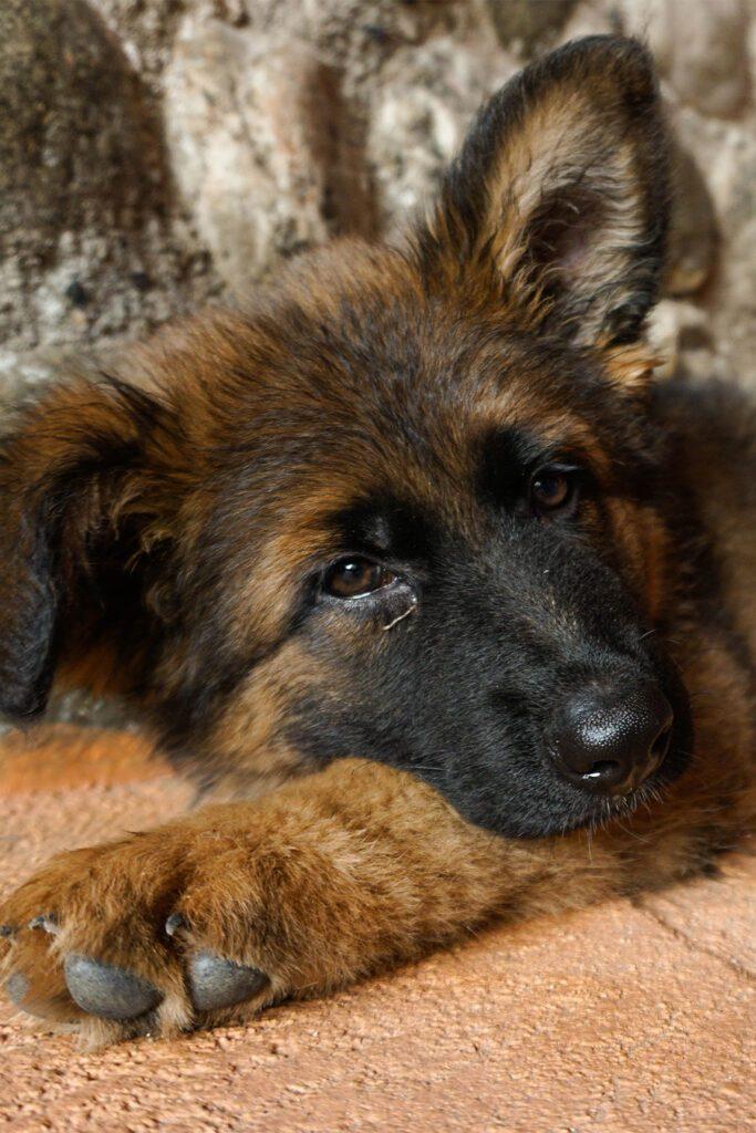 Sleepy German Shepherd Puppy