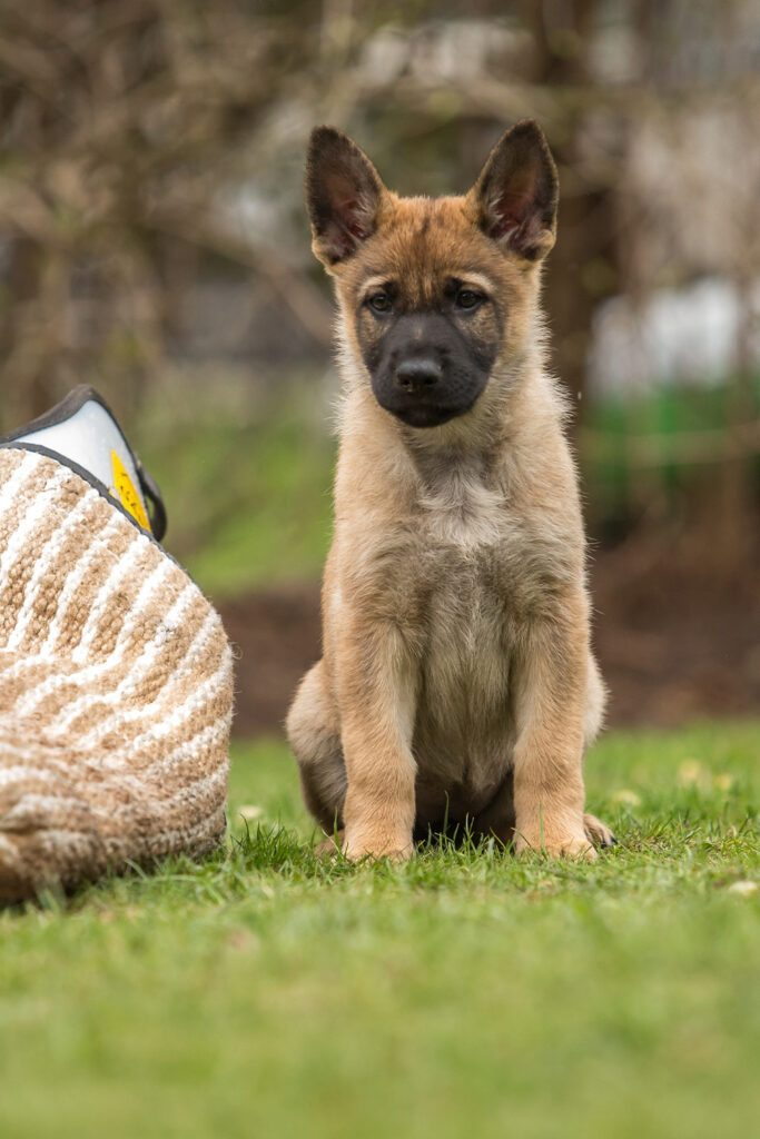 Tan German Shepherd