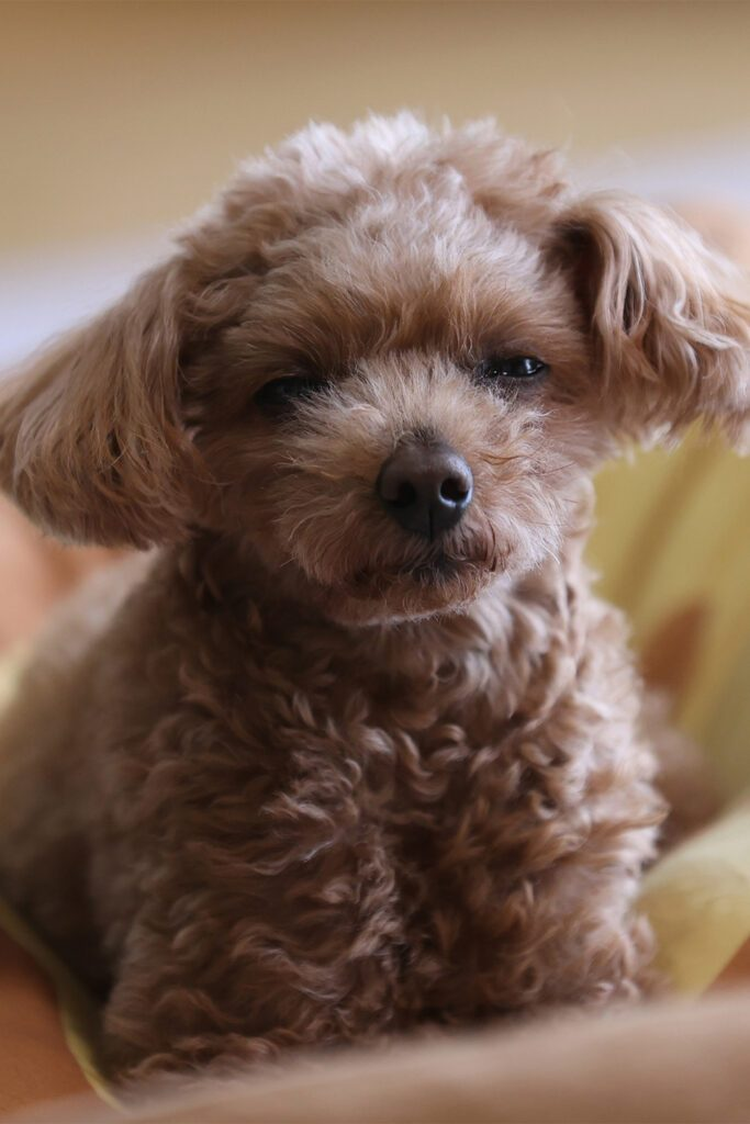 Tine Brown Poodle Puppies