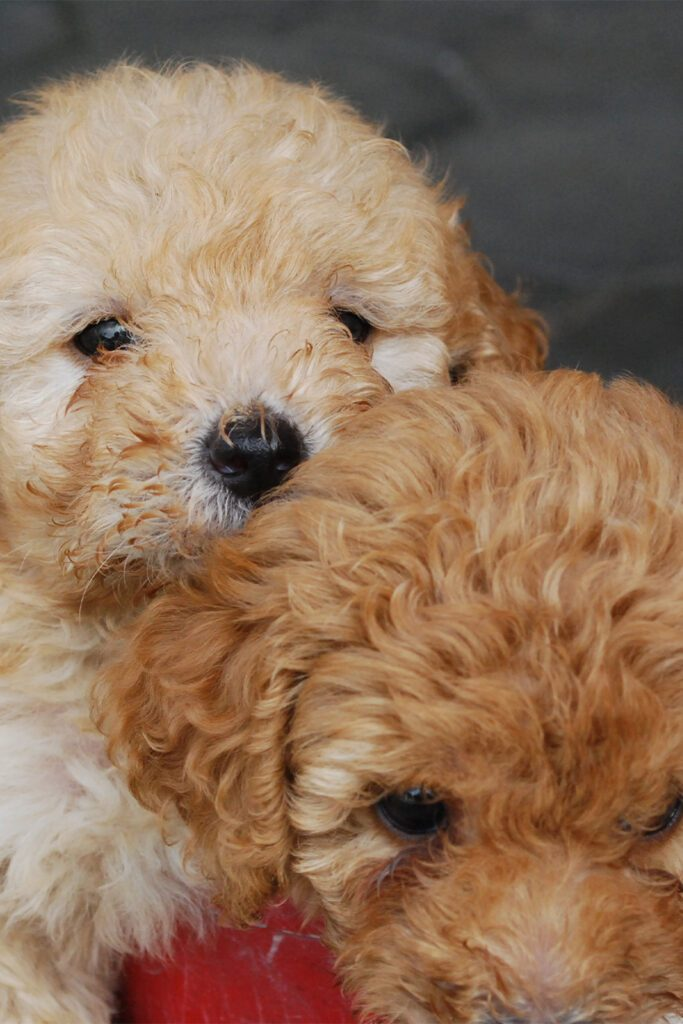 Two Poodle Pups
