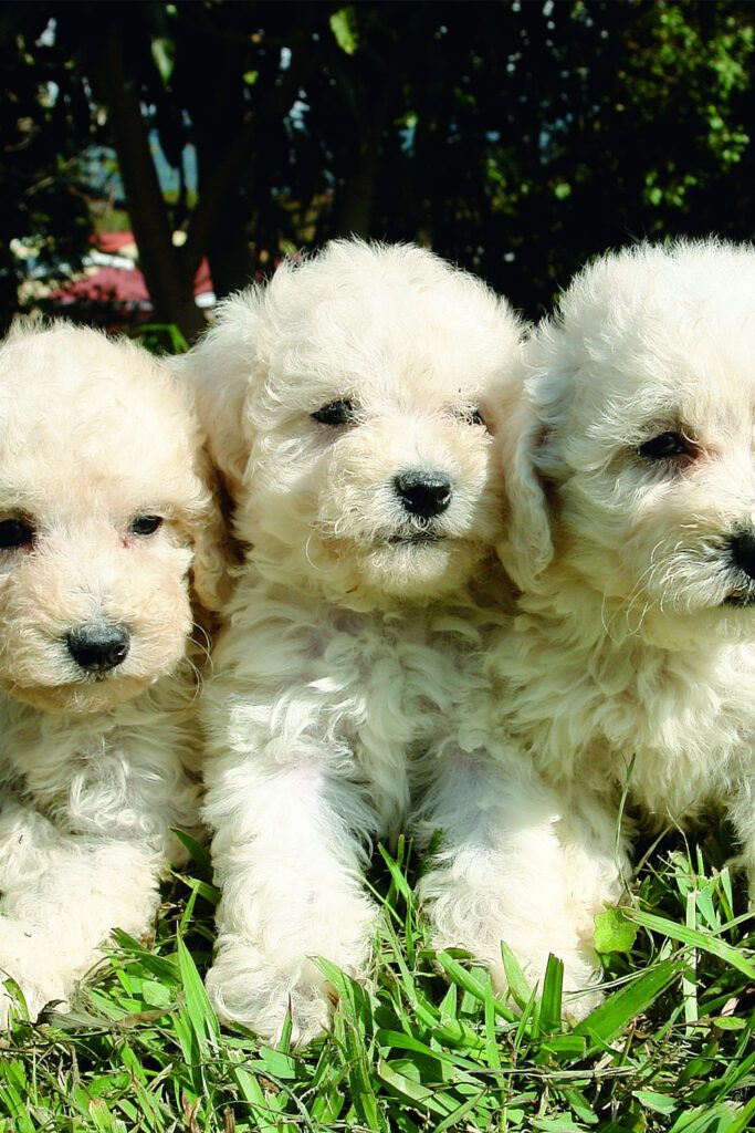 White Poodle Puppies
