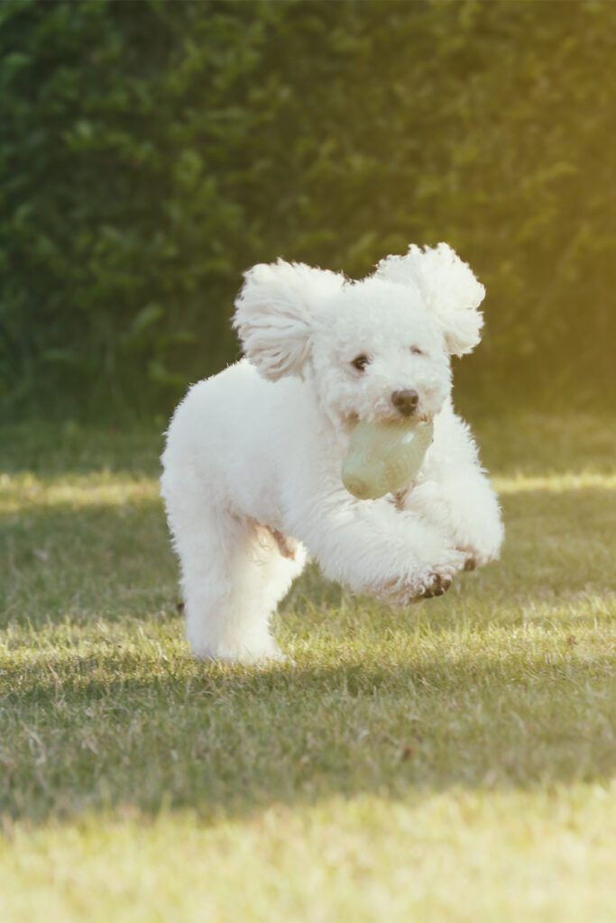 White Poodle puppy Running