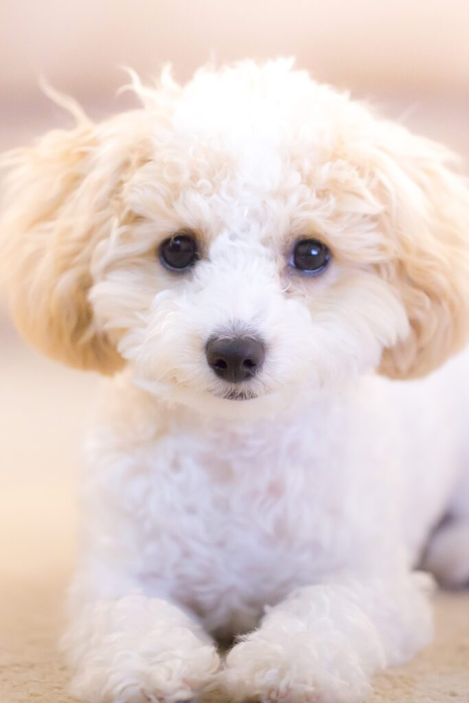 White Tpy poodle