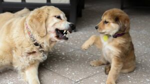 Can Golden Retrievers be Aggressive
