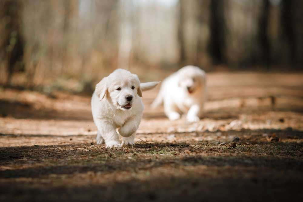 How To Prevent Aggression In Golden Retrievers