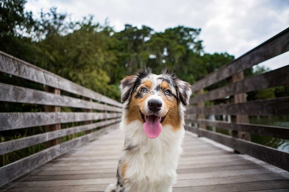 Tail docking for Australian shepherds is considered a breed standard