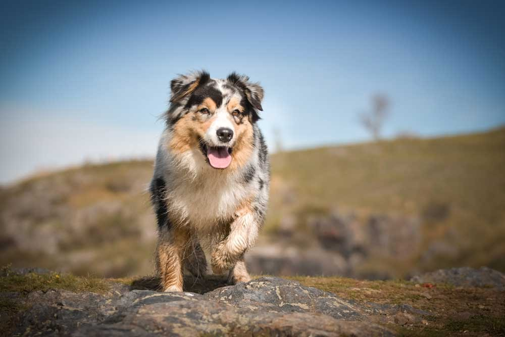 Should you dock your Aussie's tail