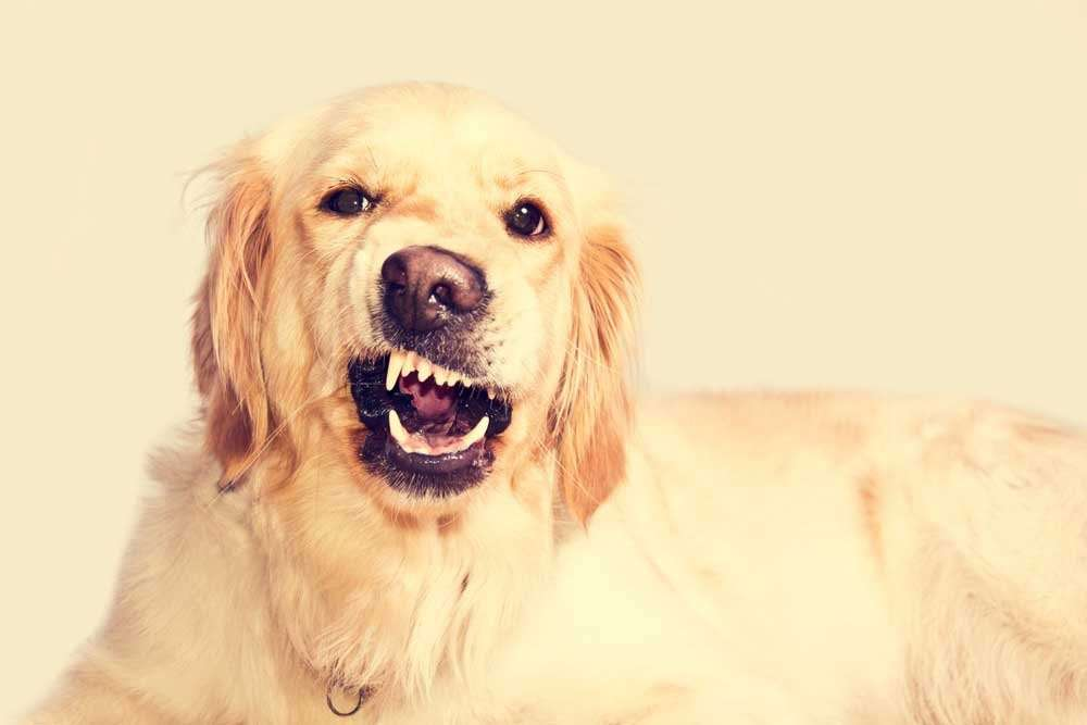 What To Do If Your Golden Retriever Is Aggressive