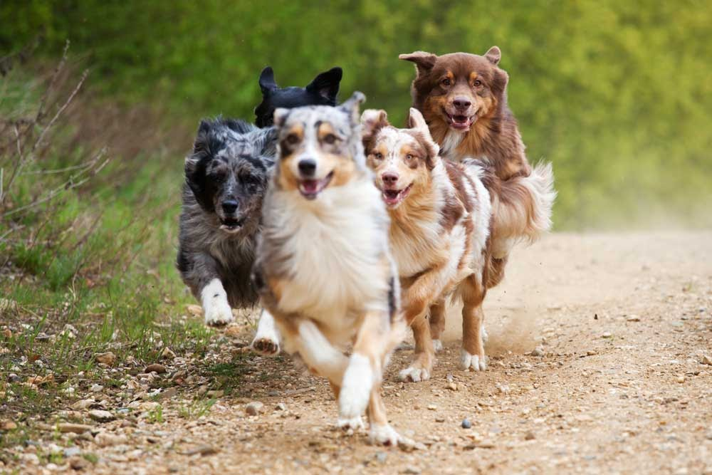 Why do people dock their Aussie Shepherd's tails?