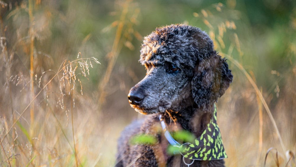 Are Poodles Easy to Train to Hunt