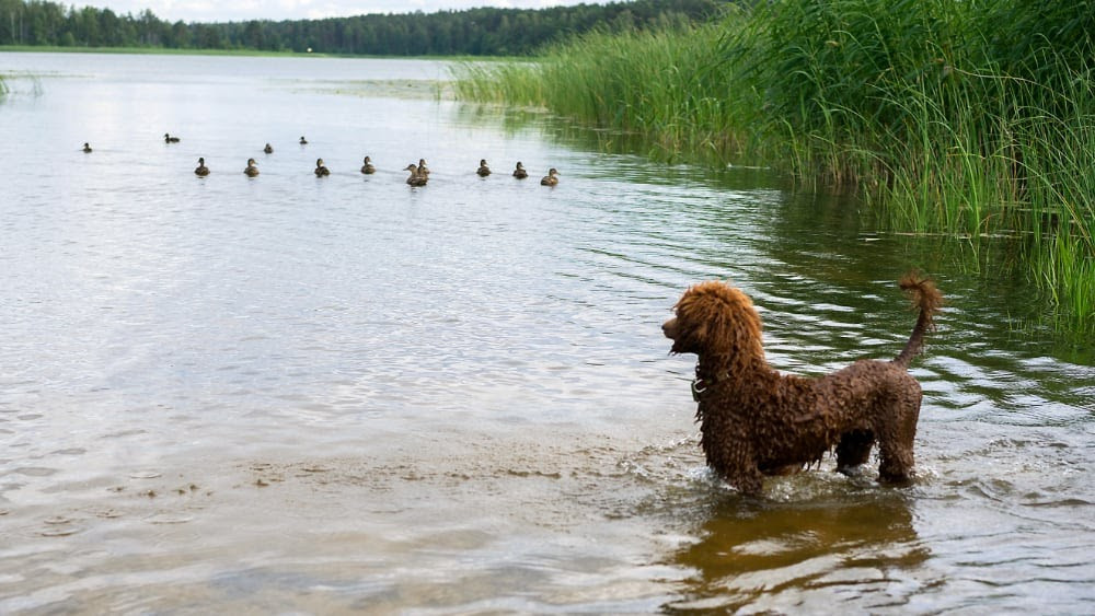 Are Poodles Hunting Dogs