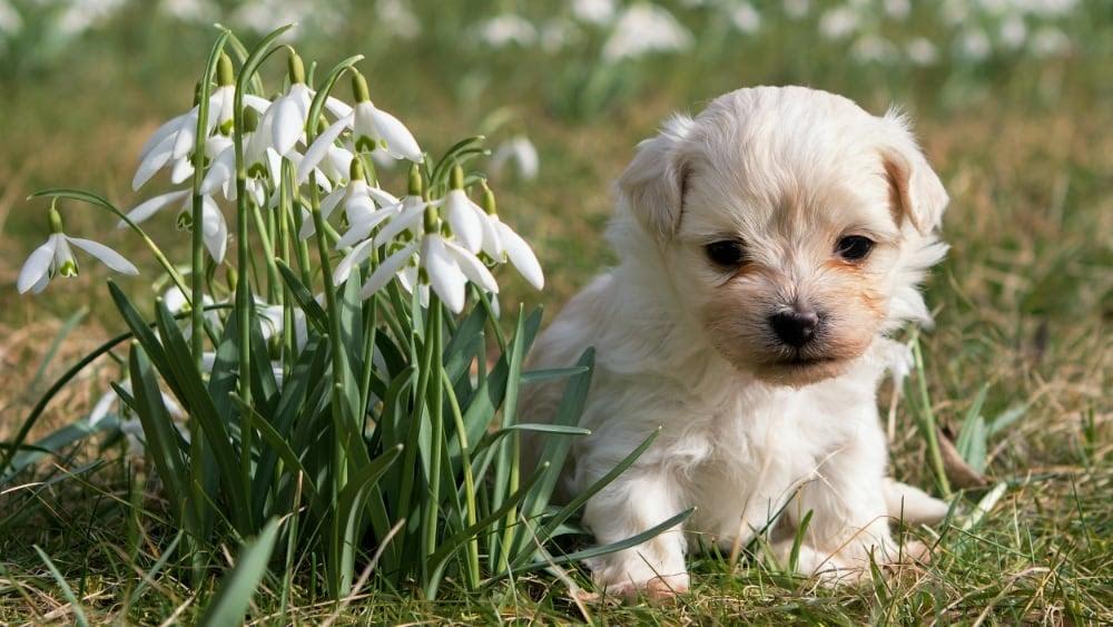 Cute Havanese Puppies With Flowers