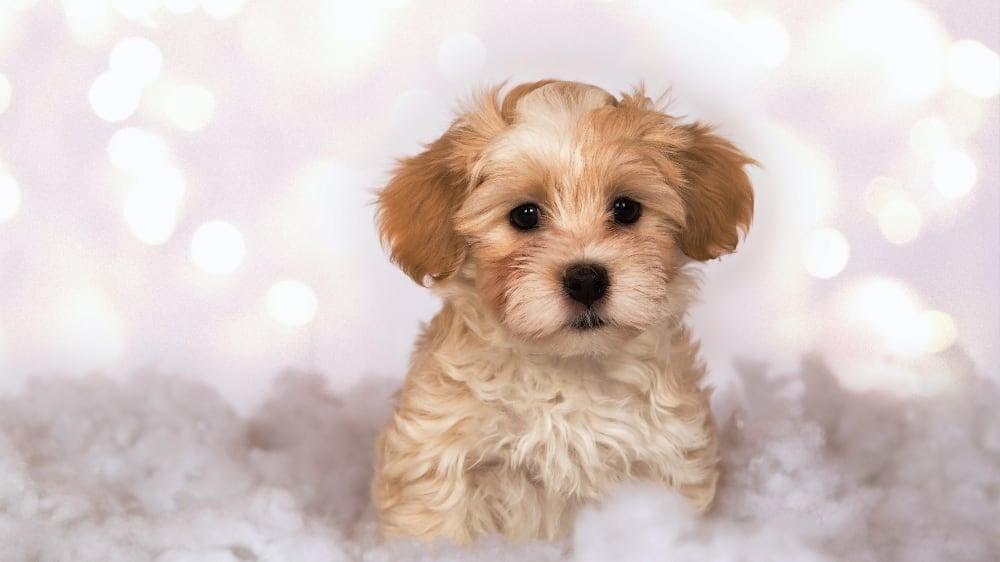 Cute Havanese Puppies