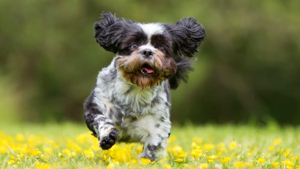 Cute Havanese Puppy Running