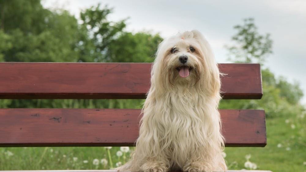 Cute Havanese Puppy Sitting On Bench