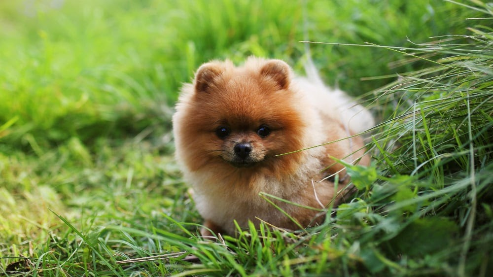 Cute Pomeranian Puppy At The Park