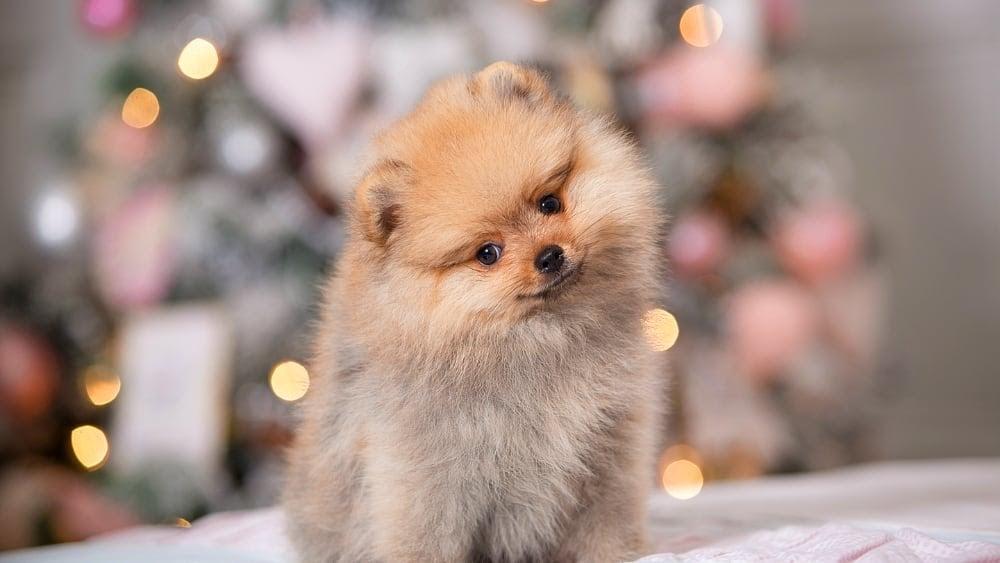 Cute Pomeranian Puppy Close Up
