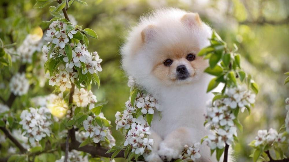 Cute Pomeranian Puppy Hiding in Flowers