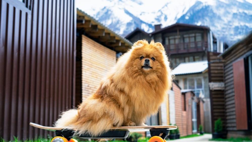 Cute Pomeranian Puppy On a Skateboard