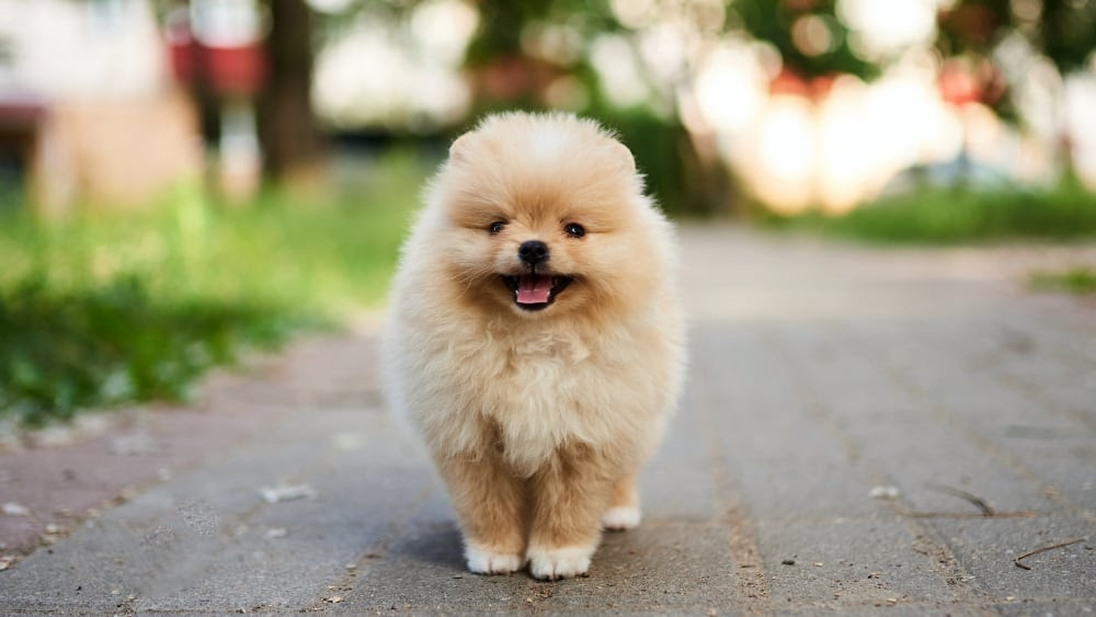 Cute Pomeranian Puppy Outdoors