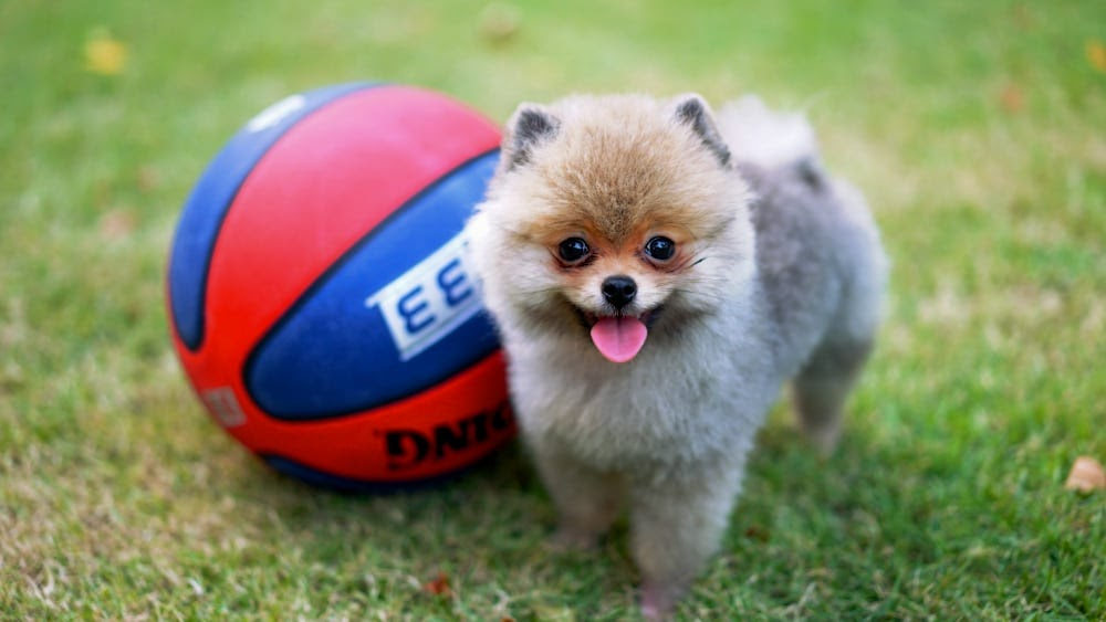 Cute Pomeranian Puppy With a Ball