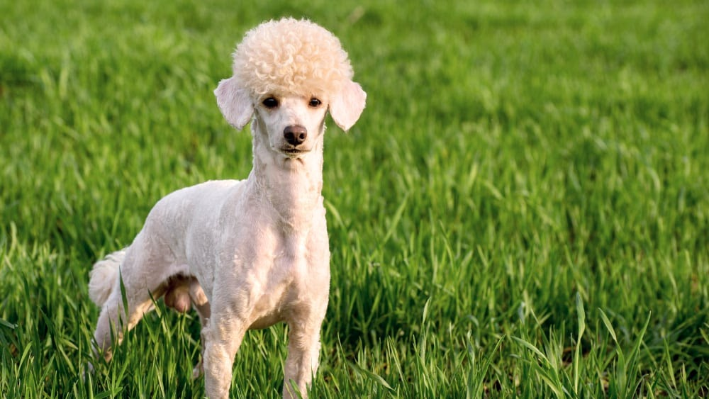 Do Poodles Have the Right Temperament for Hunting